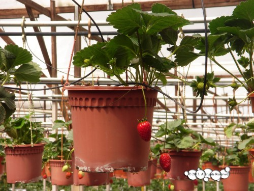 Strawberry Planted in Pot