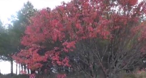 台中 - 大雪山楓染大地, 紅葉狩觀雲海