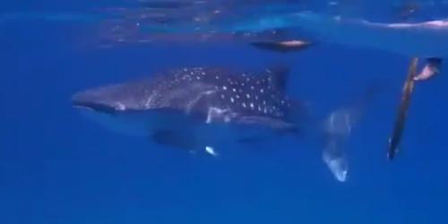 菲律賓宿霧, 與鯨鯊共游