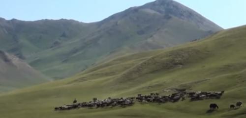 大犛牛要怎麼趕 直擊吉爾吉斯高原放牧