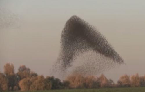 燕八哥群舞飛行奇觀 宛如3D模擬動畫