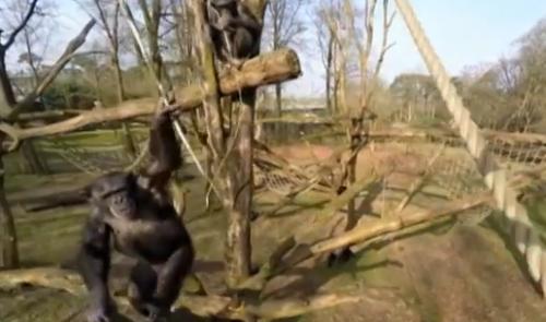 谁能打下無人飛機黑猩猩就可以了看看它如何做到