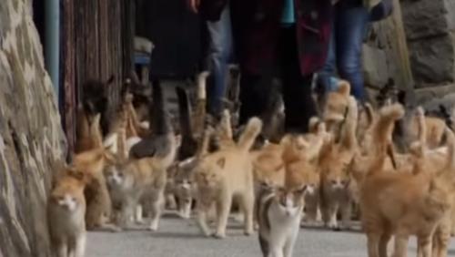 貓比人多的島! 日本「貓咪島」爆紅