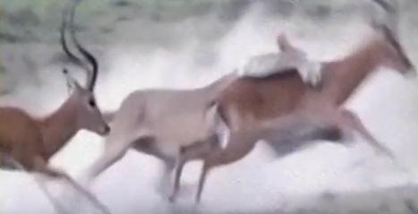 鷸蚌相爭漁翁得利! 兩羚羊鬥爭突遭獅爪