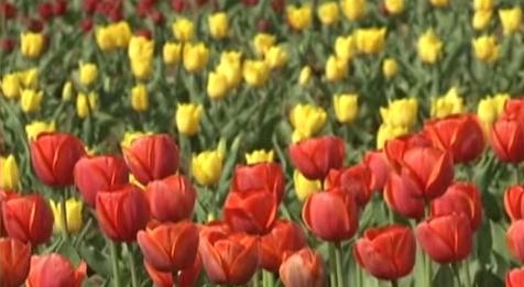 印度鬱金香花園 亞洲最大賞花趣